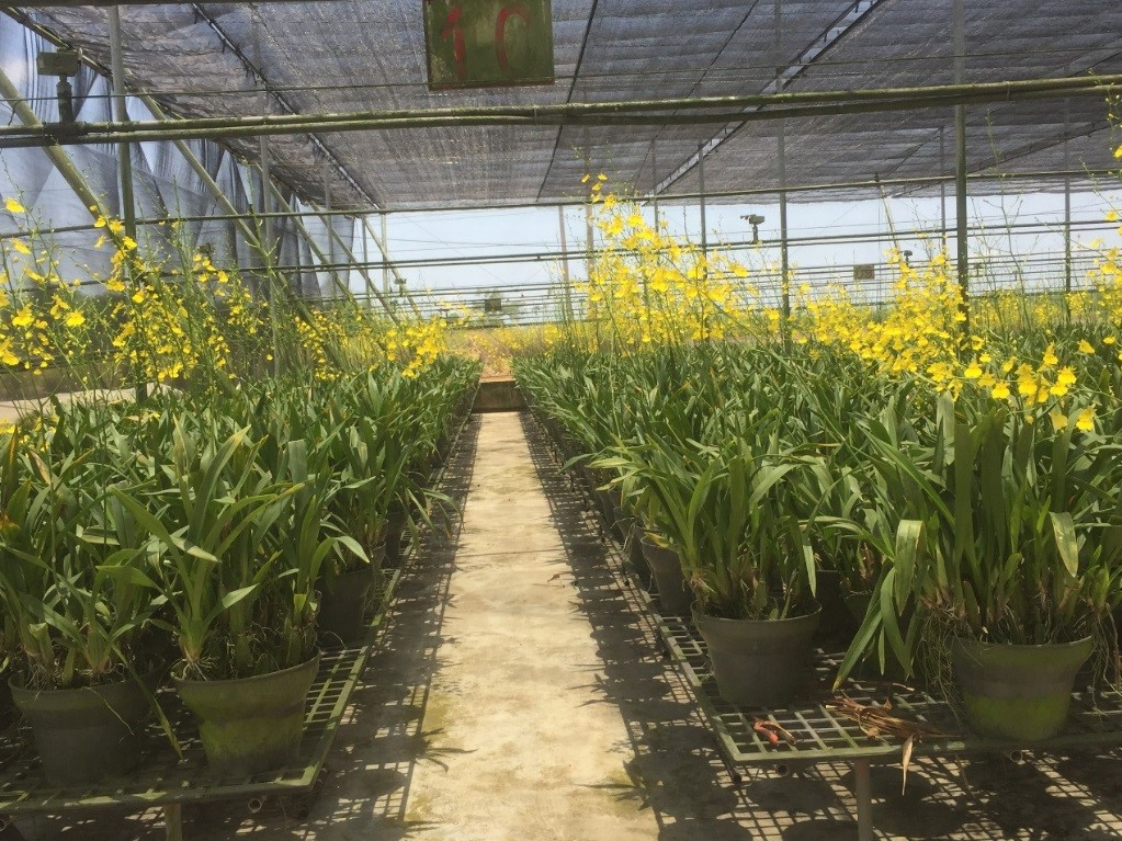 Taiwan can develop New Southbound markets smoothly for Oncidium orchid cut flowers by strengthening management against harmful pests and strengthening product traceability mechanisms.