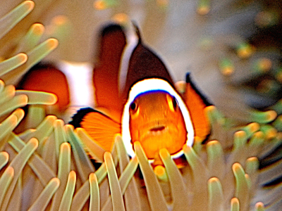 Clownfish for cartoons and brief bursts of