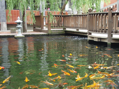 Garden landscape will be enriched considerably with some koi in pond.