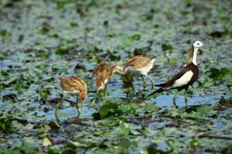 Pheasant-tailed jacana foraging with her offspring.