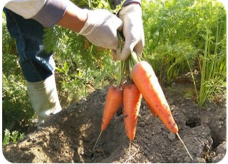 Picture 7: Beautiful green-conservation carrots.